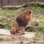 Lev Dvůr Králové